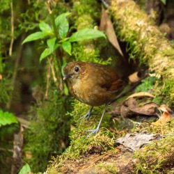 Brown-banded Antpitta (E)